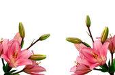 白地にユリの花 — ストック写真