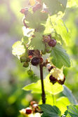 Bush of black currant — Foto Stock