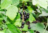 Bush of black currant in a garden — Foto Stock