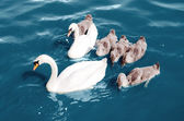Swans float in the lake — Stock Photo