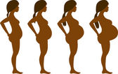 Pregnancy Development in Four Stages — Stock Vector