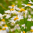 Camomile flowers — Stock Photo #41985711