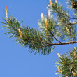 Pine tree branches with pine cones — Stock Photo #41986653