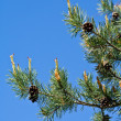 Pine tree branches with pine cones — Stock Photo #41988357