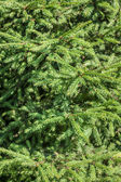 Fir-tree's branches — Stock Photo