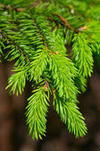 Fir-tree's — Stock Photo