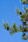 Pine tree branches with pine cones — Stock Photo