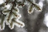 Spruce grenar täckta med snö — Stockfoto