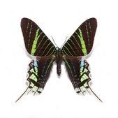 Urania leilus butterfly — Stock Photo