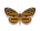 Tithorea harmonia gilberti butterfly — Foto Stock