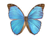 Tropical butterfly Morpho menelaus — Стоковое фото
