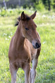 The curious perky foal — Stock Photo