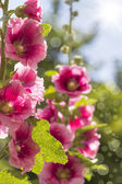 Blooming pink hollyhock — Stock Photo