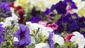 Colorful blooming petunias — Foto Stock
