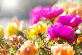 Colorful background of bright flowers Portulaca grandiflora — Stock Photo