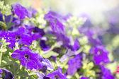 Kolorowe kwitnący petunii — Zdjęcie stockowe
