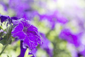 Colorful blooming petunias in the flowerbed — Stockfoto