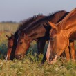 Horse grazing on pasture — Stock Photo