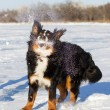 Bernese dog — Stock Photo
