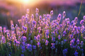 Lavander Blooms — Stock Photo