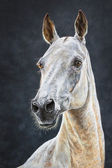 White achal teke horse portait — Stock Photo