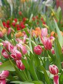 Tulips on market — Stock Photo