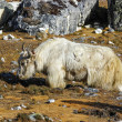 Yak in Himalaya mountains, Everest region, Nepal. — Stock Photo
