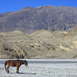 Wild horse on the mountain river bank in Nepal. — Stock Photo #41939015