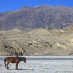Wild horse on the mountain — Stock Photo #41939015