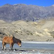 Wild horse on the mountain river bank in Nepal. — Stock Photo #41939587