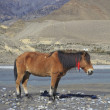 Wild horse on the mountain river bank in Nepal. — Stock Photo #41940441