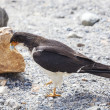 Stock Photo: Mountain Caracarbird.