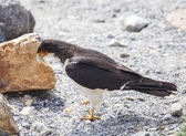 Mountain Caracara bird. — Stock Photo