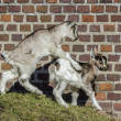 Stock Photo: Baby Goats playing.