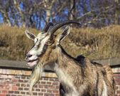 Adult goat against barn made of bricks. — 图库照片