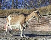 Adult goat against barn made of bricks. — Stock Photo