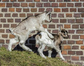 Baby Goats playing. — Stock Photo