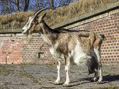 Dorosły kóz przeciwko stodoła z cegły. — Zdjęcie stockowe