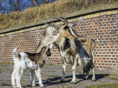 Goat with babies in front of a barn. — Stock Photo