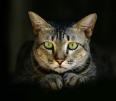 Green-eyed cat. — Stock Photo