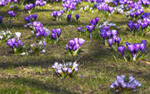 Crocuses in the park — Stock Photo