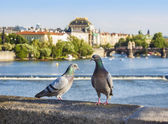 Pigeons on the bridge, Prague in background, Czech Republic. — Stock Photo