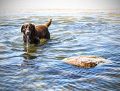 Dog in the water, Baltic Sea, Poland  — Stock Photo