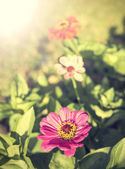 Vintage zinnia flower, nature background. — Stok fotoğraf