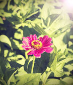 Vintage zinnia flower, nature background. — Foto Stock