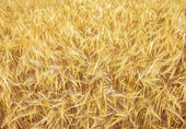 Ripening golden ears of yellow wheat field on the sunset, nature — Stock Photo