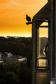 Pigeon black silhouette on roof. — Stock Photo