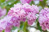 Syringa (Lilac). — Stock Photo