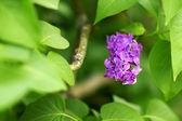 Syringa (Lilac) — Stock Photo