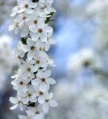 Cherry flowers. — Stock Photo